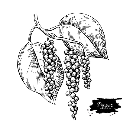 Black pepper plant branch vector drawing. Botanical illustration. Vintage hand drawn spice sketch. Herbal seasoning ingredient, culinary and cooking flavor.