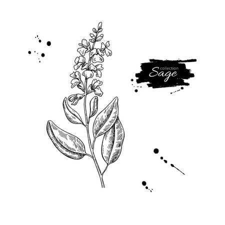 Sage vector drawing. Isolated plant with flower and leaves.