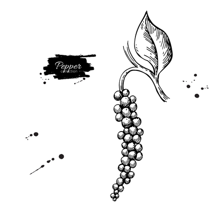 Black pepper plant branch vector drawing. Botanical illustration