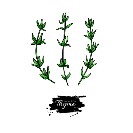 Thyme vector drawing. Isolated thyme plant with leaves.