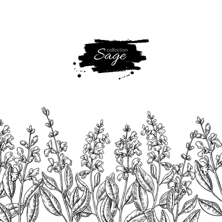 Sage vector drawing border. Isolated plant with flower and leave.
