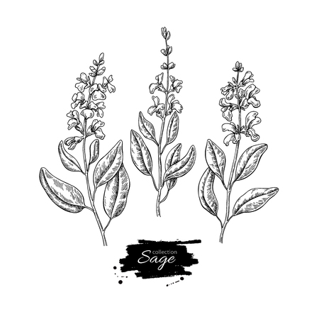 Sage vector drawing set. Isolated plant with flower and leaves. Stock Illustratie