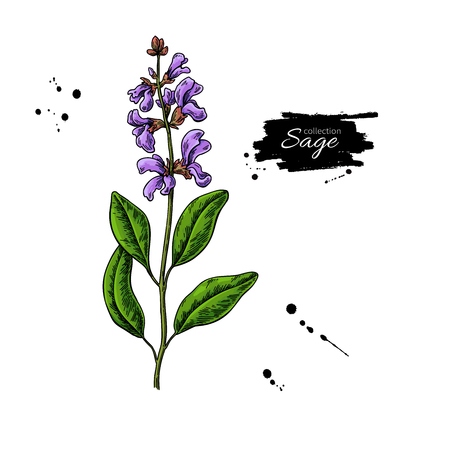 Sage vector drawing. Isolated plant with flower and leaves herbal