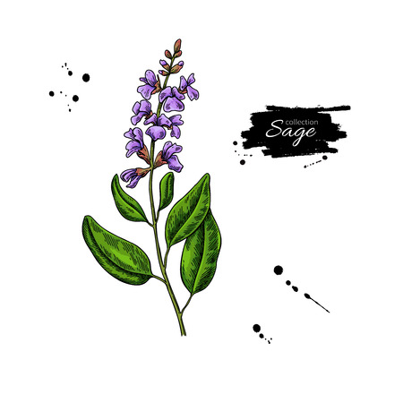 Sage vector drawing. Isolated plant with flower and leaves. Herbal