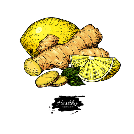 Ginger, lemon and mint vector drawing. 向量圖像