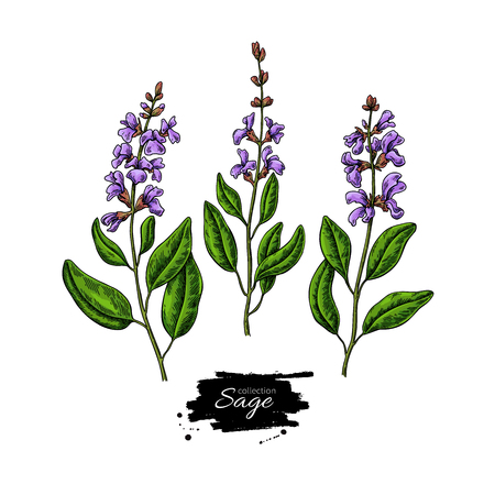 Sage vector drawing set. Isolated plant with flower and leaves. Herbal