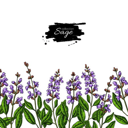 Sage vector drawing border. Isolated plant with flower and leaves. Herbal Imagens