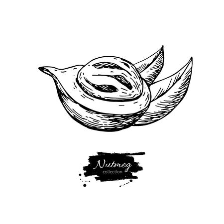 Nutmeg spice vector drawing. Mace fruit seasoning nut sketch. Herbal ingredient, culinary and cooking flavor. Çizim