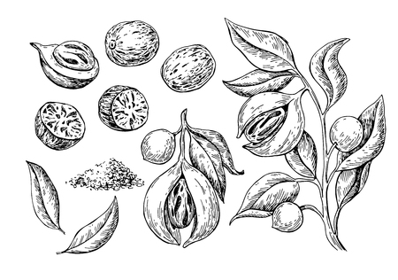 Nutmeg spice vector drawing. Ground seasoning nut sketch. Dried seeds and fresh mace fruits Herbal