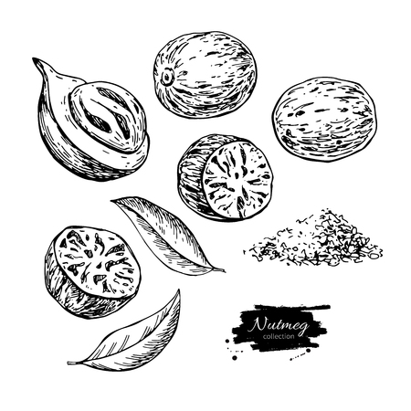 Nutmeg spice vector drawing. Ground seasoning nut sketch. Dried seeds and fresh mace fruits
