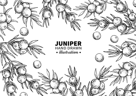 Juniper vector drawing frame. Isolated vintage  template of berr Zdjęcie Seryjne