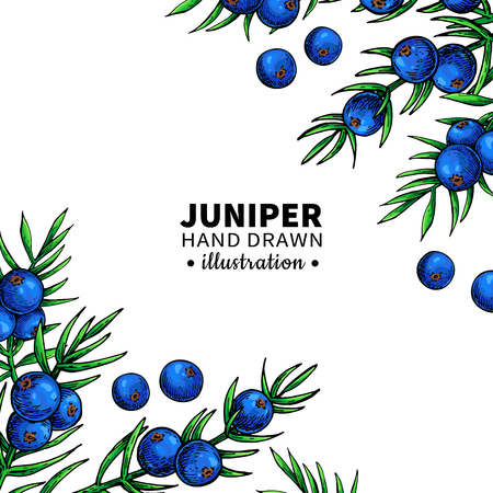 Juniper vector drawing frame. Isolated template with berry on branch. Organic essential oil artistic style sketch. Beauty and spa, cosmetic ingredient. Great for label, packaging design. 向量圖像