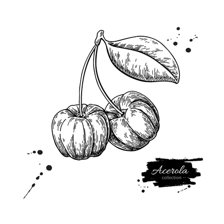 Acerola fruit vector drawing. Barbados cherry sketch. Vintage engraved illustration of superfood.