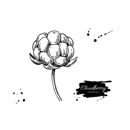 Cloudberry vector drawing. Organic berry food sketch. Vintage engraved illustration of superfood. Ilustração