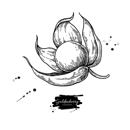 Physalis fruit vector drawing. Golden berry sketch. Vintage engraved illustration of superfood.