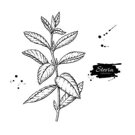 Stevia vector drawing. Herbal sketch of sweetener sugar substitute. Vintage engraved illustration of superfood.