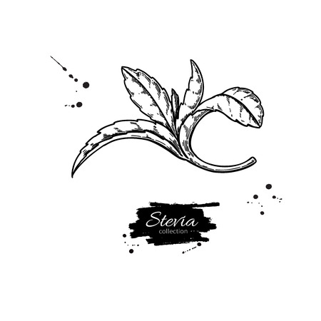Stevia vector drawing. Herbal sketch of sweetener sugar substitute. Vintage engraved illustration of superfood.