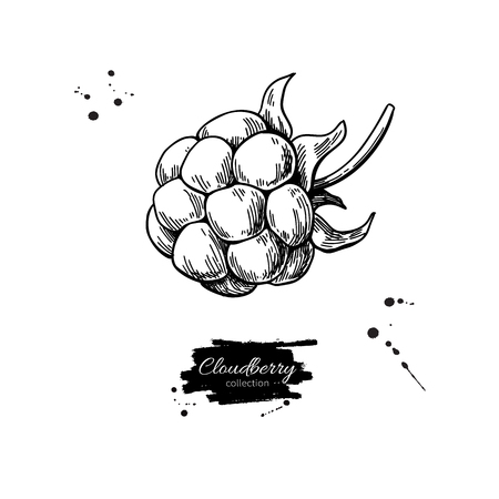 Cloudberry vector drawing. Organic berry food sketch. Vintage engraved illustration of superfood. Illustration