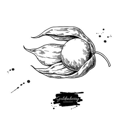 Physalis fruit vector drawing. Golden berry sketch. Vintage engraved illustration of superfood.