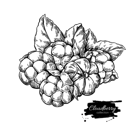Cloudberry vector drawing. Organic berry food sketch. Vintage engraved illustration of superfood. Stock Photo