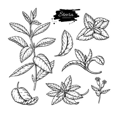 Stevia vector drawing. Herbal sketch of sweetener sugar substitute. Vintage engraved illustration of superfood. Stock Vector - 103837446