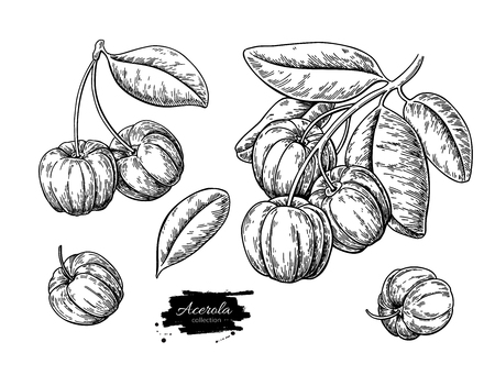 Acerola fruit vector drawing set. Barbados cherry sketch. Vintage engraved illustration of superfood.