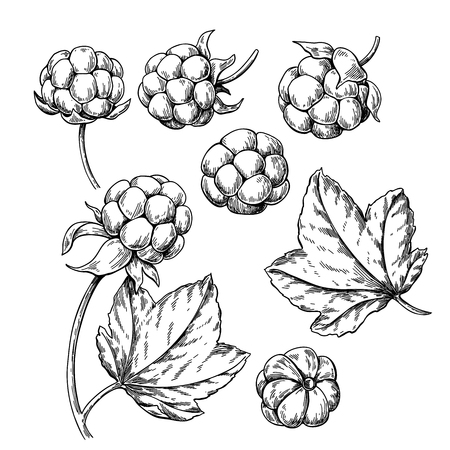 Cloudberry vector drawing. Organic berry food sketch. Vintage engraved illustration