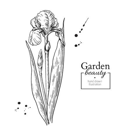 Iris bloem en bladeren tekenen. Vector hand getekend gegraveerde flora