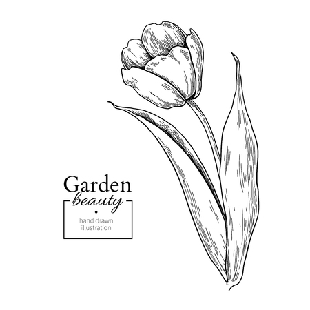 Tulip flower and leaves drawing. Vector hand drawn engraved flor Ilustração