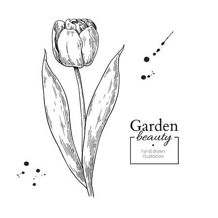 Tulip flower and leaves drawing. Vector hand drawn engraved flor Ilustração