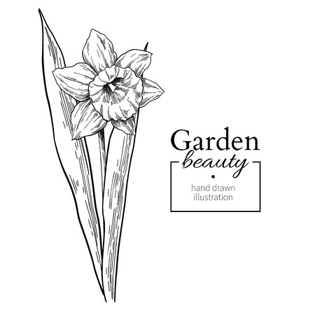 Daffodil flower and leaves drawing. Vector hand drawn engraved