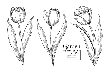 Tulip flower and leaves drawing. Vector hand drawn engraved