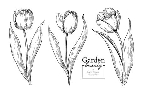 Tulp bloem en bladeren tekenen. Vector hand getekend gegraveerd