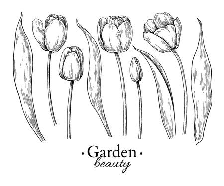 Tulip flower and leaves drawing. Vector hand drawn engraved floral set. Botanical Black ink sketch. Great for tattoo, invitations, greeting cards, decor Vektoros illusztráció
