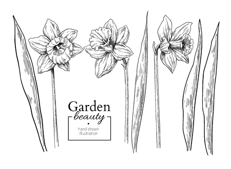 Daffodil flower and leaves drawing. Vector hand drawn engraved floral set. Botanical black ink sketch. Great for tattoo, invitations, greeting cards, decor 일러스트