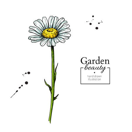 Daisy flower drawing. Vector hand drawn floral object. Chamomile sketch. Wild botanical garden bloom. Great for tea packaging, label, icon, greeting cards, decor