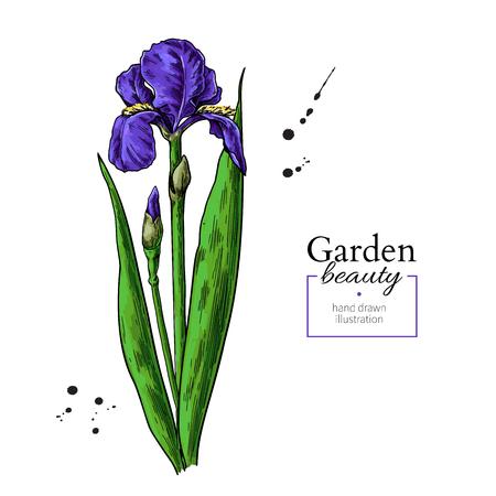 Iris flower and leaves drawing. Vector hand drawn  floral object. Garden bloom. Botanical sketch. Great for tattoo, invitations, greeting cards, decor