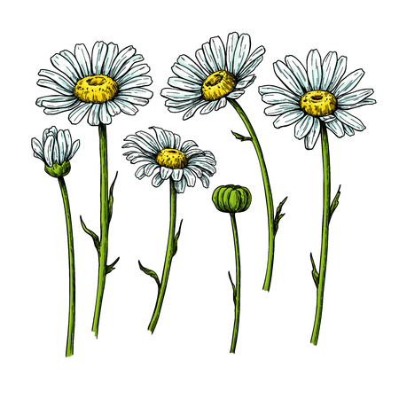 Daisy flower drawing. Vector hand drawn floral object. Chamomile sketch set. Wild botanical garden bloom. Great for tea packaging, label, icon, greeting cards, decor Vectores