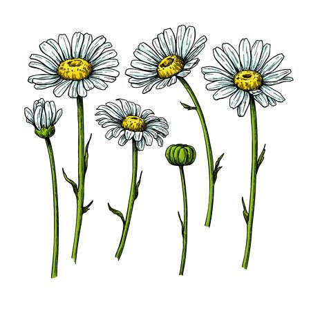 Dessin de fleur de marguerite. Objet floral dessiné à la main de vecteur. Ensemble de croquis de camomille. Fleur de jardin botanique sauvage. Idéal pour l'emballage de thé, l'étiquette, l'icône, les cartes de voeux, la décoration