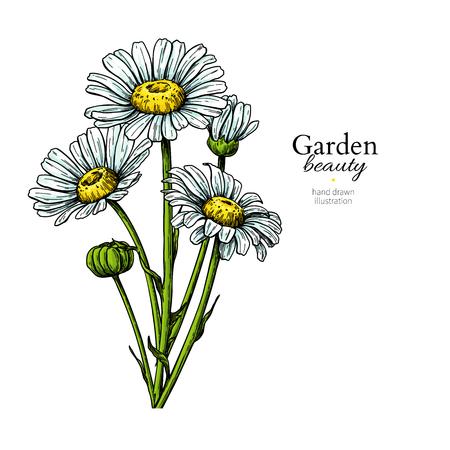 Gänseblümchen-Blumenzeichnung. Vektor handgezeichneter Blumenstrauß. Skizze mit schwarzer Tinte der Kamille. Wilde botanische Gartenblüte. Ideal für Teeverpackungen, Etiketten, Symbole, Grußkarten, Dekor,