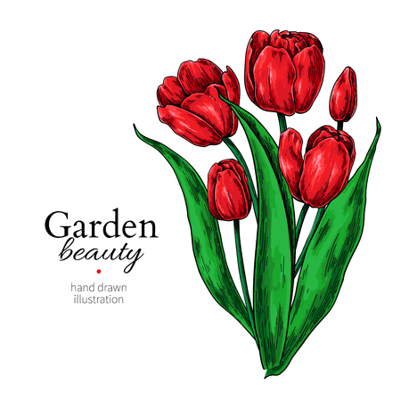 Tulip flower and leaves bouquet drawing Vector hand drawn floral illustration. Illustration