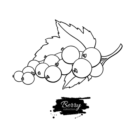 Black or red currant vector drawing. Isolated berry branch sketc
