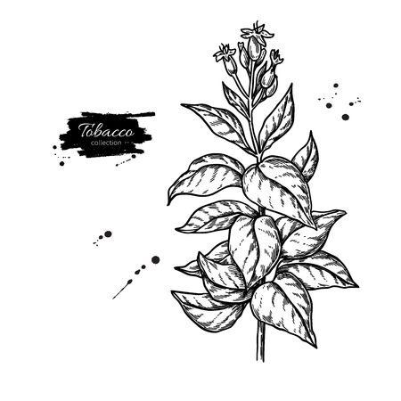 Tobacco plant vector drawing. Botanical hand drawn illustration with leaves and flowers. Smoking ingredient sketch. Engraved isolated objects. Great for shop label, emblem, sign, packaging Banque d'images - 111516197