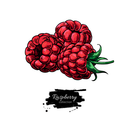 Raspberry vector drawing. Isolated berry group sketch on white b