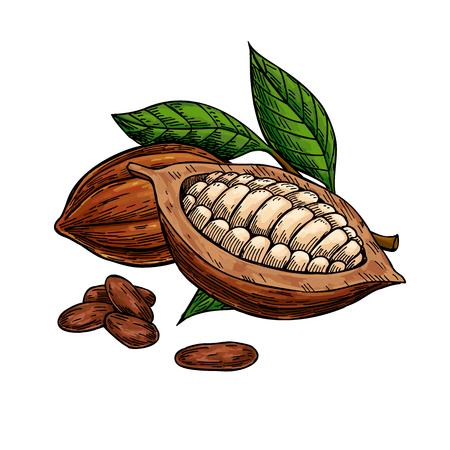 Cacao vector superfood tekening set. Biologische gezonde voeding schets.