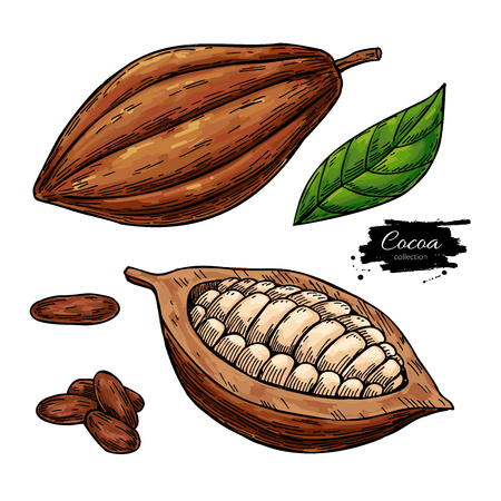Cocoa vector superfood drawing set. Organic healthy food sketch. Stock Vector - 108826338