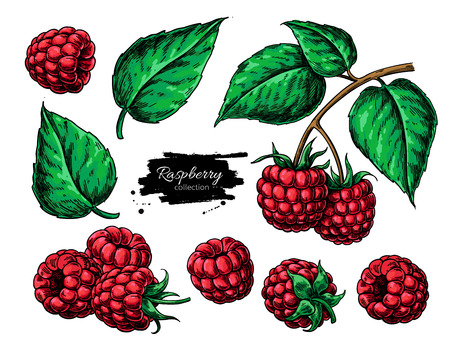 Raspberry vector drawing. Isolated berry branch sketch