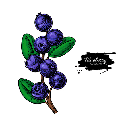 Blueberry vector drawing. Isolated berry branch  on white backgr