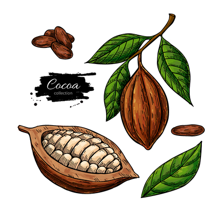 Cocoa vector superfood drawing set. Organic healthy food sketch.