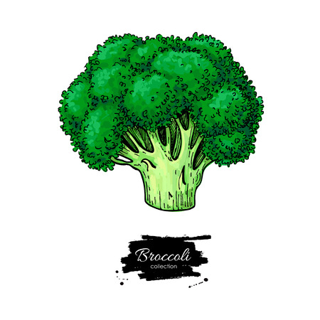 Broccoli hand drawn vector illustration. Vegetable drawing. Isolated Broccoli. Detailed vegetarian food artistic sketch. Farm market product.